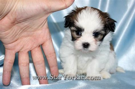 teacup puppies for sale in ma teacup maltese puppies for sale ohio breeds picture