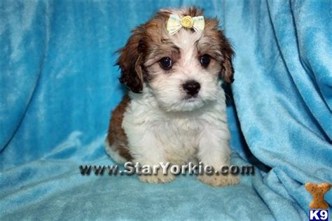 havanese puppies for sale in mississippi image gallery teacup havanese