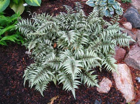 athyrium niponicum var pictum metallicum  fall