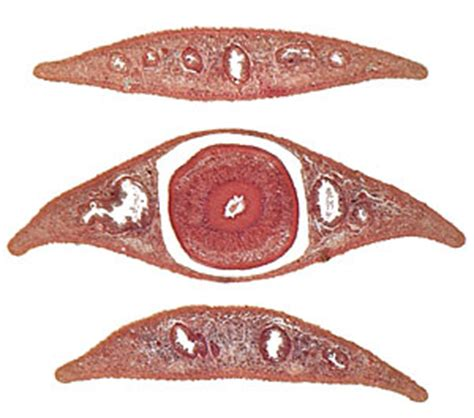 cross section of planaria platyhelminthes laboratory notes for bio 1003