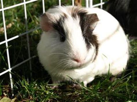 infezione all orecchio interno guinea pig infezioni dell orecchio medio russelmobley