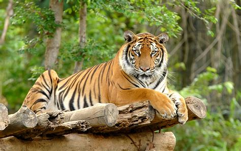 Harimaun Sumatera populasi harimau sumatera diperkirakan tinggal 400 ekor