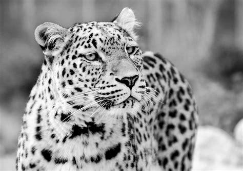 imagenes de jaguar blanco free images black and white view wildlife zoo