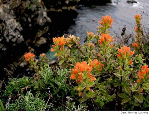 hardest plant to grow indian paintbrush a hardy plant yet hard to grow sfgate