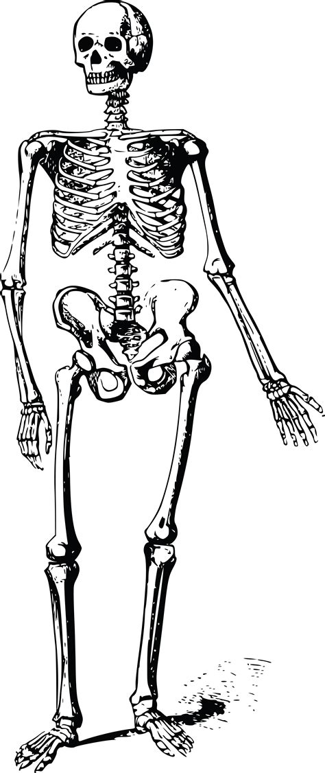 skeleton clipart free clipart of a skeleton