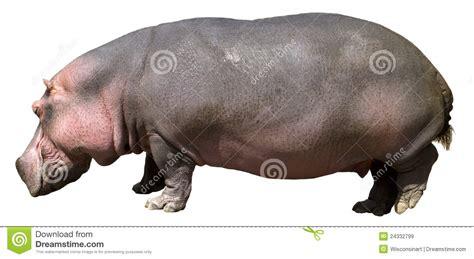 Hippo White pin hippo hippopotamus free wallpapers hd images on