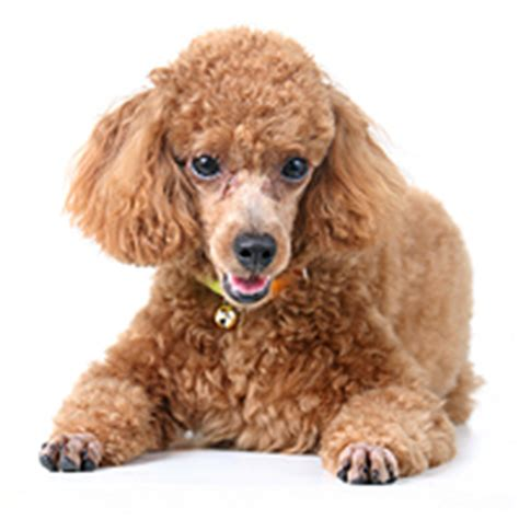 lifespan of miniature poodle poodle expectancy