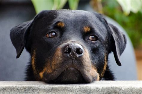 rottweilers as pets rottweiler health issues and problems canna pet 174