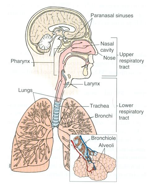 the respiratory system diagram respiratory system and the o jays on