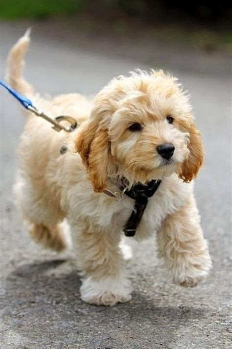 doodle puppy breeds top 5 family friendly breeds animal cuteness