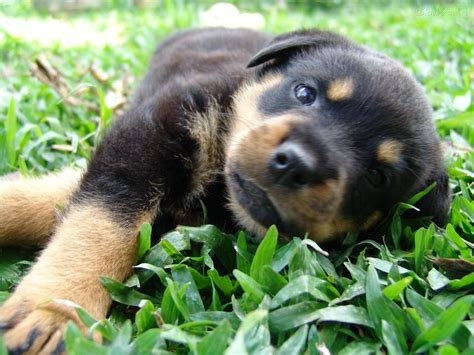 baby rottweiler rottweiler lovely baby 1400x1050 wallpapers rottweiler 1400x1050 wallpapers pictures