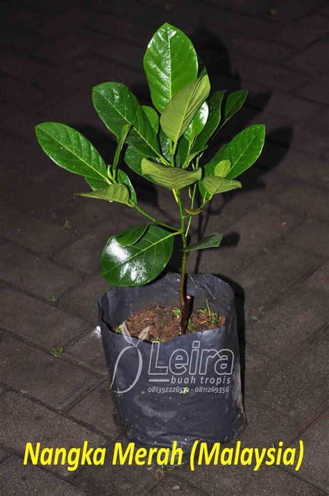 ragam bibit tanaman buah unggul leira buah tropis