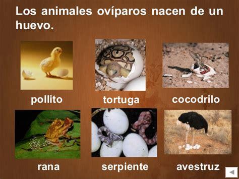 imagenes de animales oviparos viviparos y ovoviviparos animales ov 237 paros y viv 237 paros educaci 243 n