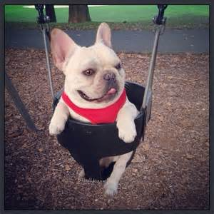 french bulldog swing 61 french bulldogs swinging life away french bulldog love
