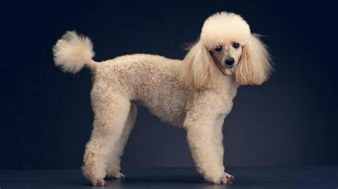 miniature french poodle hairstyles 10 haircuts for poodles