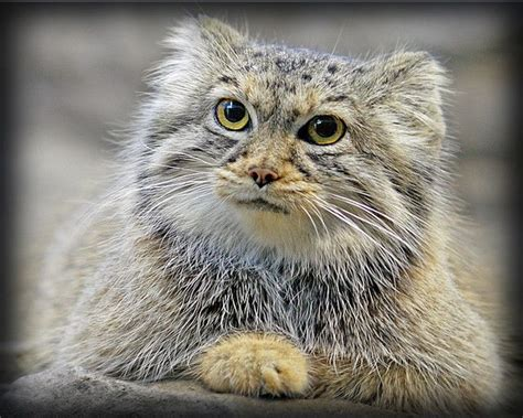 F S Pallas 443 Pallas S Cat Manul The Manul Pallas S