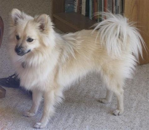 pomeranian mixed breeds pomsky pomeranian and husky mix