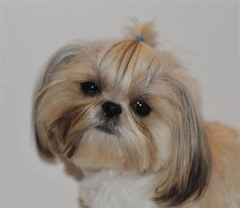 micro imperial shih tzu home of the original true imperials that trace directly to the breeds picture