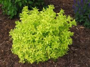 Bright Green Foliage Plants - 25 best ideas about shrubs on pinterest landscaping shrubs planting shrubs and bushes and shrubs