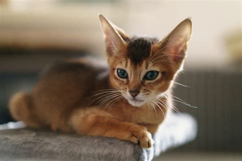 what is the average lifespan of a average expectancy of an abyssinian