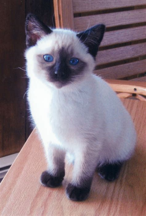 The Balinese balinese cat kittens kittens everywhere