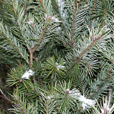what is the most fragrant fir tree for christmas types of trees galehouse tree farm