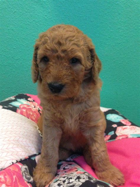 goldendoodle puppy orange county multi generation goldendoodle puppies for sale