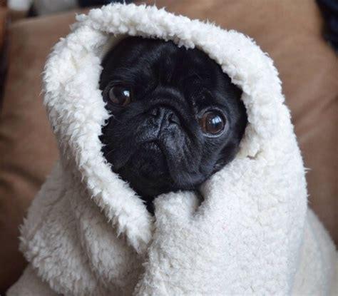 pug blanket pugs in blankets