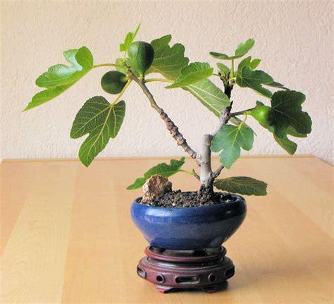 pianta di fico in vaso fico carica forum di giardinaggio it