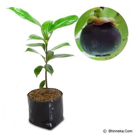 Jual Bibit Buah Buahan jual kebun bibit tanaman manggis 40cm murah bhinneka