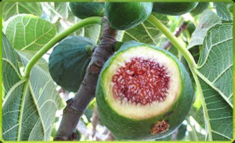california tropical fruit trees california tropical fruit trees