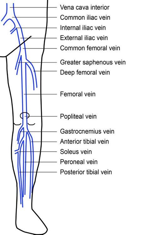 lower extremity diagram lower extremity veins diagram www pixshark images