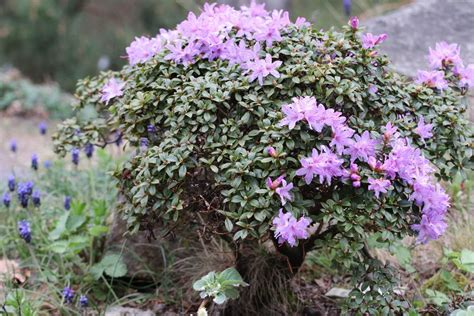 Rhododendron Giftig by Rhododendron Pflege A Z Grundlagen