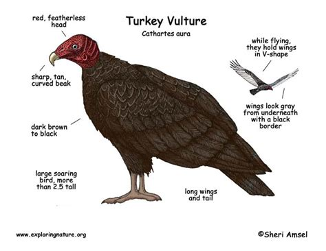 Unique Wild Turkey Anatomy Ideas - Image of internal organs of human ...