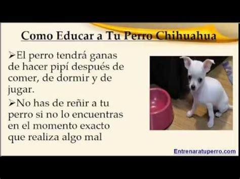 como un perro como educar a un perro chihuahua youtube