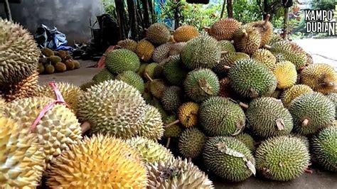 hutan durian terbesar  dunia suasana pusat kebun