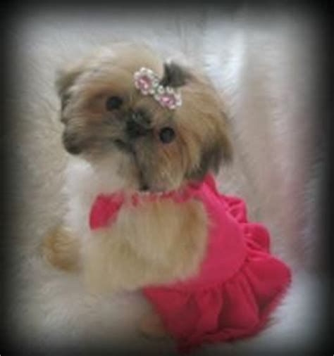 yorkie puppies salt lake city 25 best ideas about shih tzu on shih tzu shih tzu puppy and baby