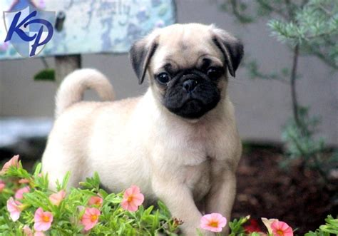 pugs for sale in oklahoma pug and husky mix breeds picture