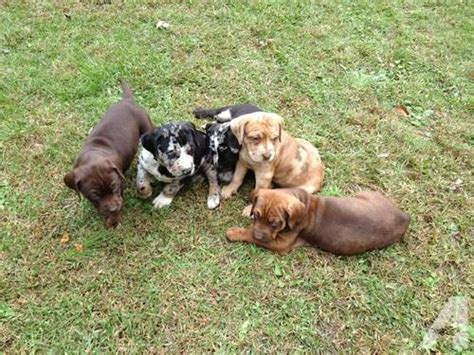 dogs for sale in louisiana catahoula leopard puppies for sale florida breeds picture