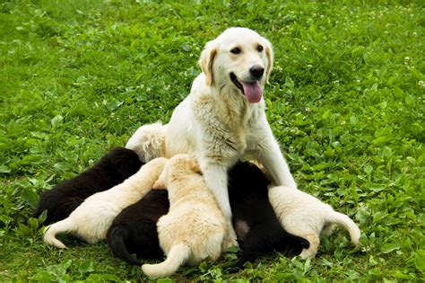 brucellosis in dogs canine brucellosis