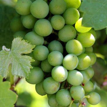 Anggur Usa hidayat s is the best manfaat anggur antioksidan antikanker alami