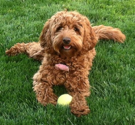 mini labradoodles massachusetts 25 best images about australian labradoodle puppies on