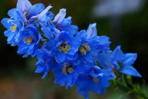 delphinium flowers blue delphinium flower pictures