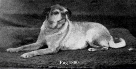pugs 100 years ago 100 years ago these 11 popular breeds were unrecognizable