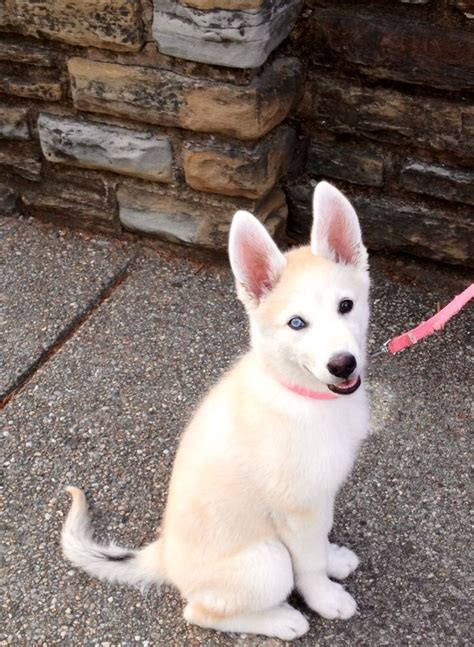 gerberian shepsky puppies for sale gerberian shepsky for sale in ohio gerberian shepsky puppies 1 2 breeds picture