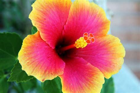 bunga cantik warna warni download wallpaper bunga galeri 30 gambar bunga sepatu yang unik pernik dunia