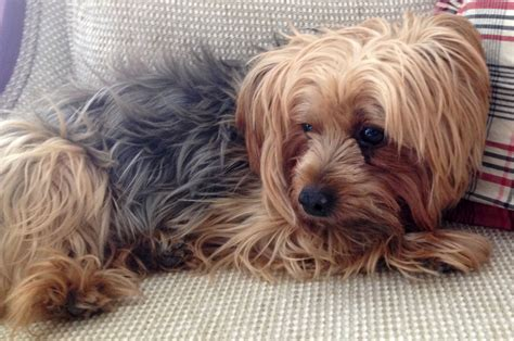 yorkie problems seizures in yorkie terriers as sign of hypoglycemia