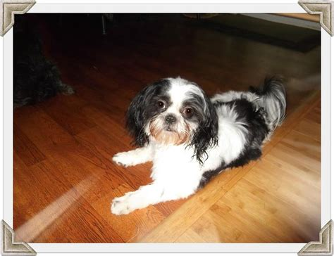 shih tzu skull news and tips from shih tzu palace puppies
