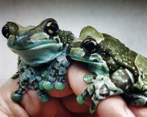 Amazon Milk Frogs (Captive Bred)   Trachycephalus resinifictrix