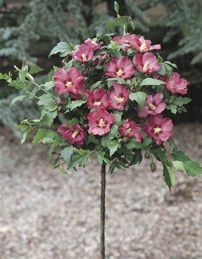 Arbuste A Fleur 762 by Arbustes Sur Tige 192 Fleurs Id 233 E D Image De Fleur